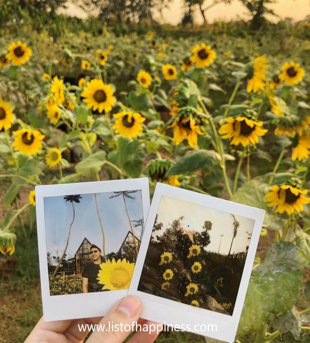 polaroid taman bunga matahari