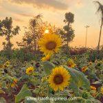 Taman Bunga Matahari di Arumdalu Farm