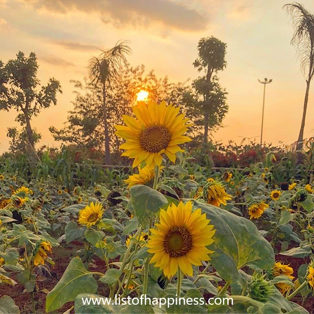 bunga matahri di sore hari
