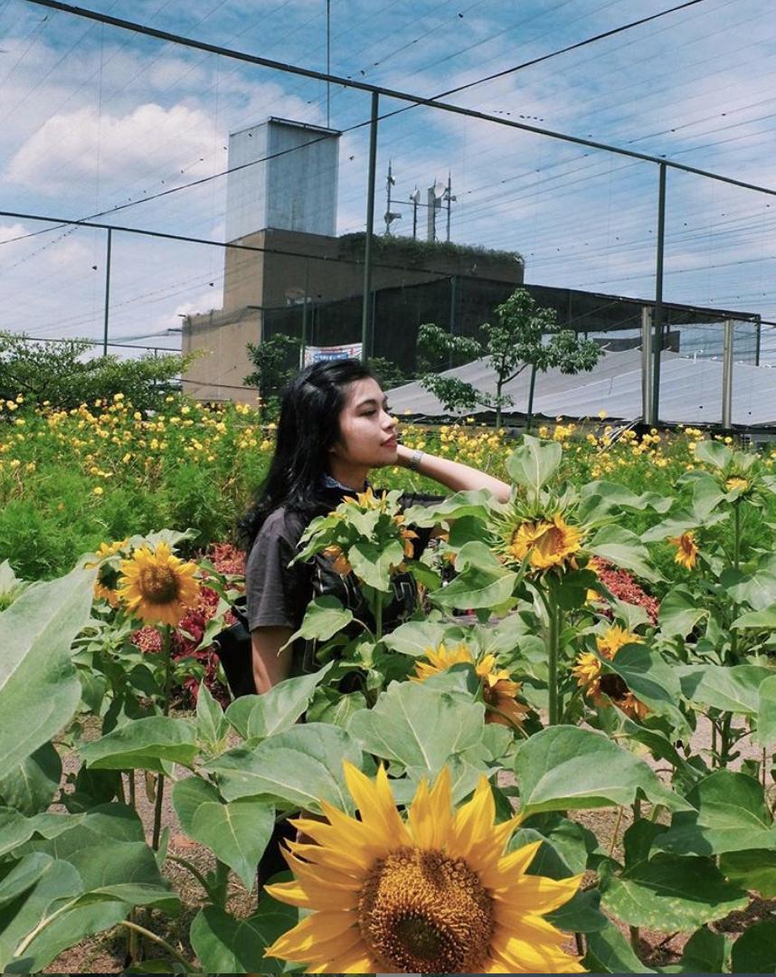 taman bunga matahari PVJ